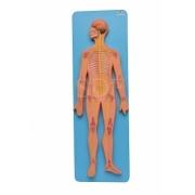 Sistema Nervoso Central e Periférico - SDORF - Cód: SD-5060