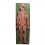 Sistema Nervoso COLEMAN - COL 2810