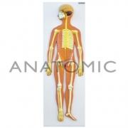 Sistema Nervoso em Placa - ANATOMIC - Cód: TZJ-0328-B