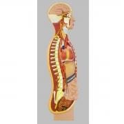 Sistema Nervoso Simpático - ANATOMIC - Cód: TZJ-0328-C