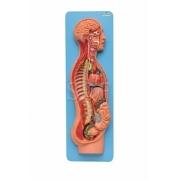 Sistema Nervoso Simpático e Parasimpático - SDORF - Cód: SD-5060/B