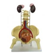 Sistema Urinário Clássico COLEMAN - COL 3807