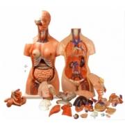 Torso Humano Bissexual 85cm e 24 Partes COLEMAN - Cód: COL 1204
