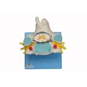 Vértebra Cervical C/ Cordão Espinhal - SDORF - Cód: SD-5013