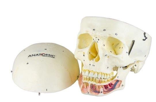 Crânio Clássico com Mandíbula Aberta ANATOMIC - Cód: TGD-0102-B