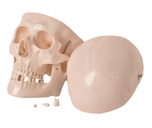 Crânio em 5 Partes - ANATOMIC - Cód: TGD-0102