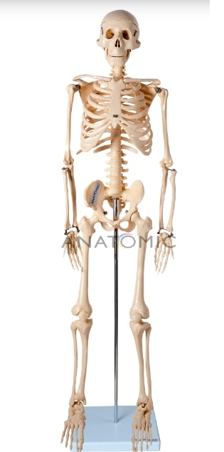 Esqueleto de 85 cm - ANATOMIC - Cód: TGD-0112
