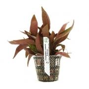 Planta Alternanthera reineckii (Lilacina)