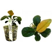 Planta Anubias barteri (Coffeefolia)