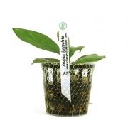 Planta Anubias lanceolata