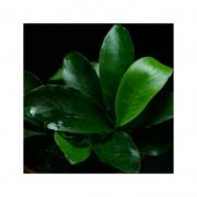 Planta Anubias sp. Gabon