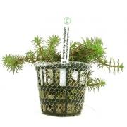 Planta Bacopa myriophylloides