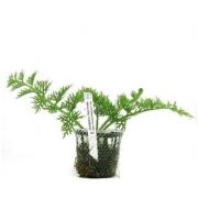 Planta Ceratopteris thalictroides (Sam. Crespa)