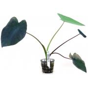 Planta Colocasia esculenta