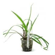 Planta Cryptocoryne spiralis