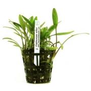 Planta Cryptocoryne willisii