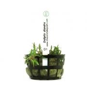 Planta Didiplis diandra