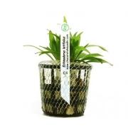 Planta Echinodorus latifolius
