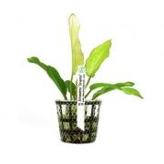Planta Echinodorus Oriental