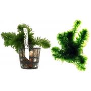 Planta Egeria densa (Elodea)
