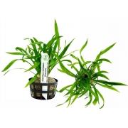 Planta Helanthium bolivianum (Vesuvius)