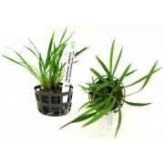 Planta Helanthium tenellum