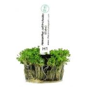 Planta Hemianthus micranthemoides