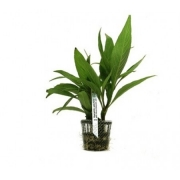 Planta Hygrophila salicifolia