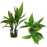 Planta Hygrophila sp. Araguaia