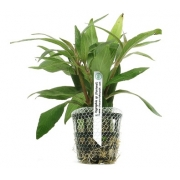 Planta Hygrophila sp. Pantanal