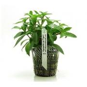 Planta Hygrophila sp. Tiger