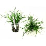 Planta Juncus repens