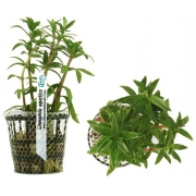 Planta Limnophila aquatica