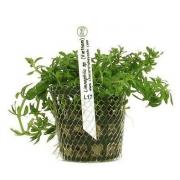 Planta Limnophila sp. (Vietnam)