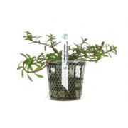 Planta Ludwigia arcuata