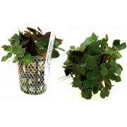Planta Ludwigia sedoides
