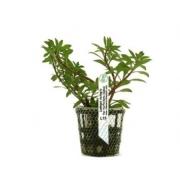 Planta Ludwigia verticillata (Cuba)