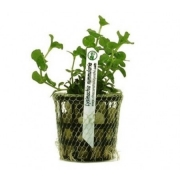 Planta Lysimachia nummularia