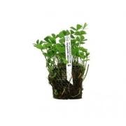 Planta Marsilea quadrifolia (trevo 4 folhas)
