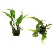 Planta Microsorium pteropus (Tropica)