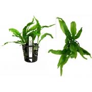 Planta Microsorium (Wave Leaf)