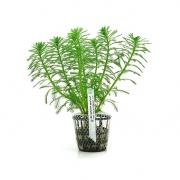 Planta Myriophyllum aquaticum