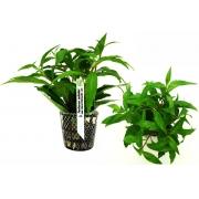 Planta Penthorum sedoides