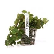 Planta Phyllanthus fluitans -flutuante