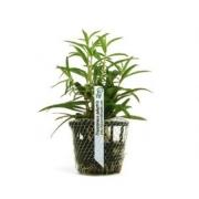 Planta Proserpinaca palustris