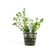 Planta Rotala repens