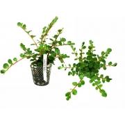 Planta Rotala sp. (Ceylon)