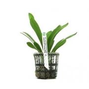 Planta Sagittaria graminea