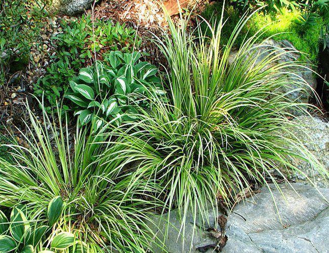 Planta Acorus gramineus (Variegata)