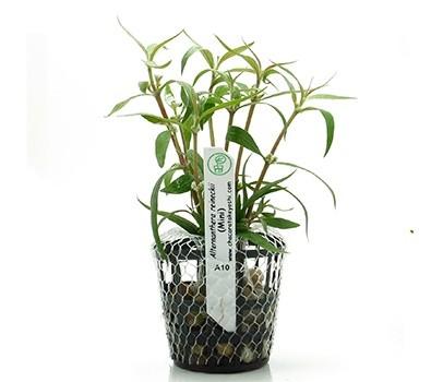 Planta Alternanthera reineckii (Mini)